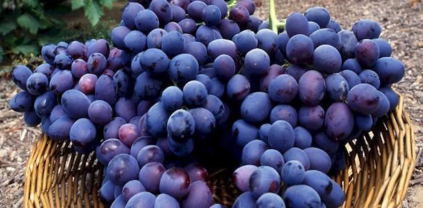 Tallinna Botaanikaaed kutsub 11.-13. septembrini toimuvale kodumaiste viinamarjade näitusele.